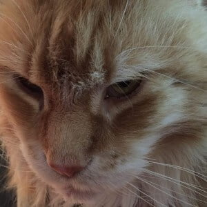 chester maine coon
